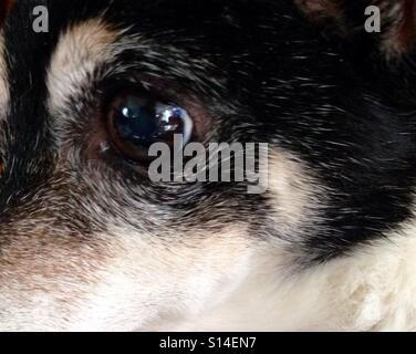 Extreme Close-up Portrait von 15-Year-Old Toy Fox Terrier mit Reflexionen in den Augen von Zimmer über ihn - Stockfoto