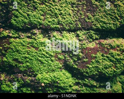 Brick Wall mit grünem Moos in der Regenzeit fallen - Stockfoto