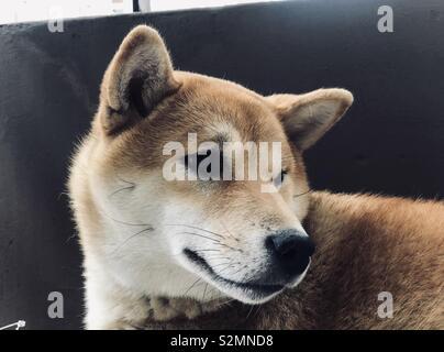 Shiba Inu Hund Portrait - Stockfoto