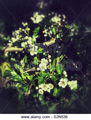 Weißdorn Blüten Nahaufnahme - Stockfoto