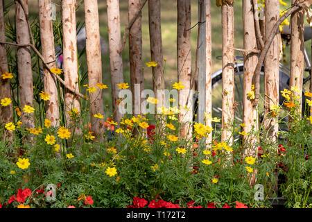 Close-up schönen gelben und grünen Gänseblümchen Wildblumen blühen am Holz Zaun in einem Hof. Natur Blumen Hintergrund und Sommer Konzept - Stockfoto