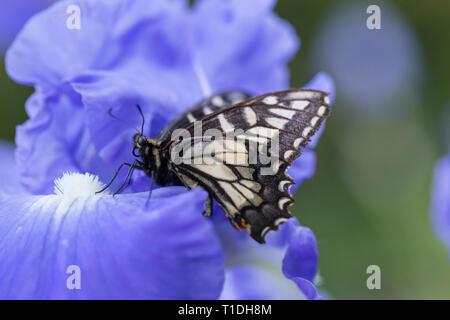 Anis Schwalbenschwanz Schmetterling auf lila Iris in einem Garten in Santa Rosa, Sonoma County, Kalifornien - Stockfoto