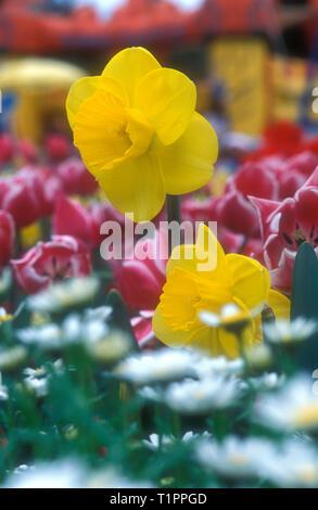 Garten Bett von NARZISSEN (NARCISSUS) zwischen den roten und weißen Tulpen (TULIPA) - Stockfoto