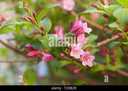 Weigela Beurre. Schöne rosa blühender Strauch Makro anzeigen. Blühende weigela im Garten - Stockfoto