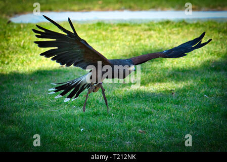 Eagle Wild Bird - Stockfoto