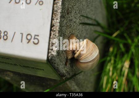 Einen Weinberg Schnecke kriecht einen Stein - Stockfoto