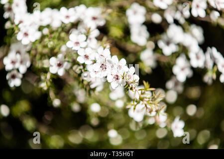 Blühende Pflanze in die myrte Familie Neuseeland manuka in voller und produktivsten saisonale Frühling blühen. - Stockfoto