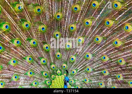 Männliche Pfau Vogel mit voller Fan von Federn angezeigt. - Stockfoto