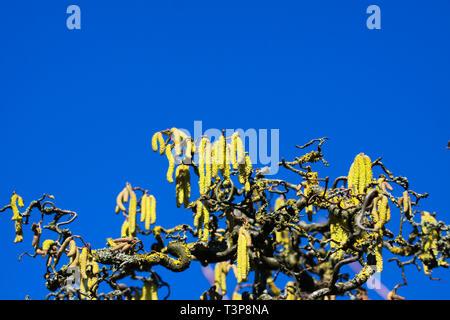 Helles leuchtendes Gelb palmkätzchen auf krummen kahlen Ästen mit orangefarbenen Flechten bedeckt (Xanthoria parietina) der alten gemeinsamen Hasel (Corylus avellana) - Stockfoto