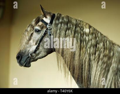 Apfelschimmel - grau Andalusischen Pferdes Portrait mit langen Haaren Mähne - Stockfoto