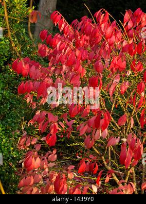 Blut rote Hartriegel (Cornus sanguinea), Blätter im Herbst in München West Park, München, Bayern, Deutschland, Europa - Stockfoto