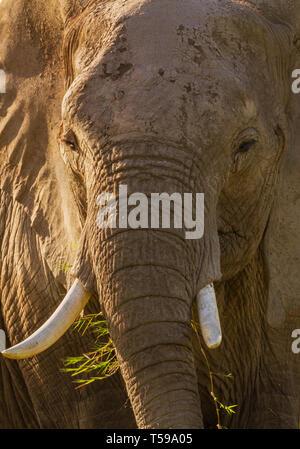 Vertikale close-up Elefant Loxodonta africana Kopf Gesicht trunk Stoßzähne zerknitterte Haut Oberflächenstruktur Essen frisst Gras Amboseli National Park Kenia Afrika - Stockfoto