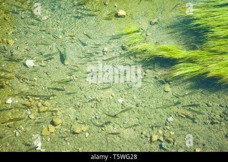 Krka, Sibenik, Kroatien, Europa - Forellen schwimmen Im offensichtlich Wasser - Stockfoto