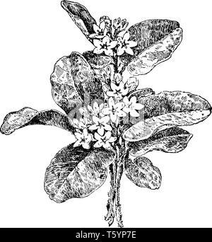 Dieses Bild zeigt Trailing Arbutus Anlage. Es wird auch als arbutus, mayflower. Kriechpflanze, Epigaea repens, der Heide Familie, lederartige, - Stockfoto