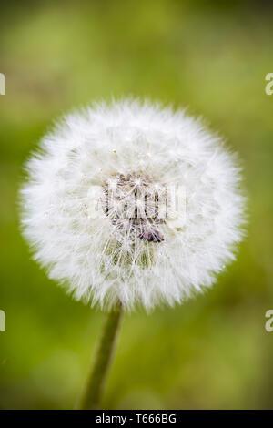 Nahaufnahme von einem schönen Pusteblumen - Stockfoto