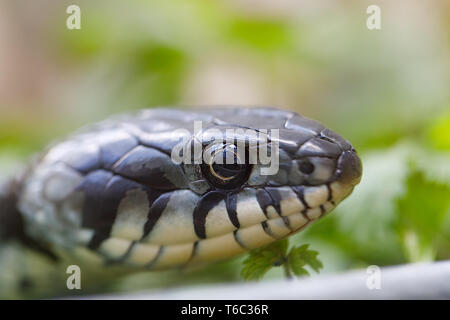 Ringelnatter (Natrix natrix) Nahaufnahme - Stockfoto