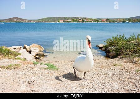 Neuruppin, Sibenik-Knin, Kroatien, Europa - ein weißer Schwan zu Fuß nach oben Der Strand - Stockfoto