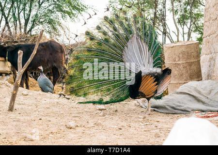 Nahaufnahme der tanzenden Pfau zeigt seine schönen Federn, Ansicht von hinten. - Stockfoto