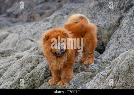 Chow Chow Hund draußen beim Gassi. - Stockfoto