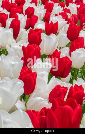 Rote und weiße Tulpen & Tulip - Keukenhof - Frühling Blumen in Holland - Tulpen in den Niederlanden - Arten - Tulipa Liliaceae Familie - Stockfoto