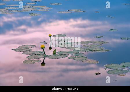 Gelbe Seerosen in Feuchtgebieten in der Dämmerung in der Nähe von Havre-Saint-Pierre Quebec Kanada - Stockfoto