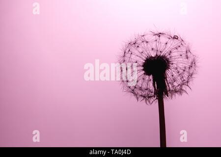 Löwenzahn Samen Nahaufnahme Makro im Sonnenlicht auf eine weiche, leicht Rosa, Koralle Farbe Hintergrund. Sinnbild der Reinheit und Leichtigkeit. - Stockfoto
