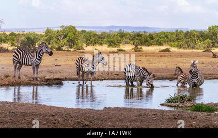 Ebenen zebra mit oxpecker Vögel auf der Rückseite Equus quagga Trinkwasser am Wasserloch Ol Pejeta Conservancy Kenia Ostafrika 5 Streifen gestreift schwarz - Stockfoto