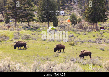 Amerikanischen Bisons grasen der Campingplatz in Mammoth Hot Springs, Yellowstone National Park 11. Mai 2019 im Yellowstone, Wyoming. - Stockfoto