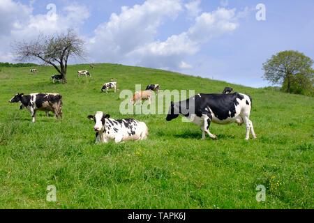 Grasende Kühe auf der Weide, eine Herde von schwarze und weiße Kühe mit braunen und weißen Rindern, Landwirtschaft, Milch- und Landwirtschaft Konzept vermischt, lebendige Farben - Stockfoto