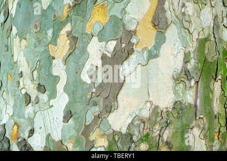 Alte Platane (Platanus orientalis) Rinde/äußere Schicht Textur - horizontal, bis mit natürlichem Licht zu schließen. - Stockfoto