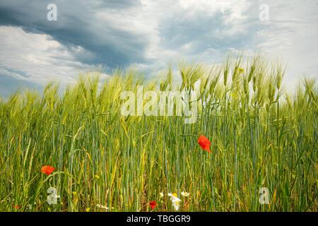 Dunkle Gewitterwolken ziehen über grüne Felder und rote Mohnsamen im Vordergrund hinweg - Stockfoto
