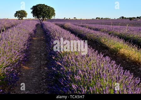 Lavendelfelder in Villaviciosa de Tajuña, in der Nähe der Brihuega, Guadalajara, Spanien. - Stockfoto
