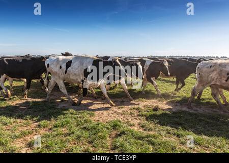 Gruppe der Holsteiner Zucht friesischen läuft auf grünem Gras. - Stockfoto