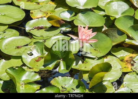 Nahaufnahme der Blüte Lotus Pflanzen schwimmen auf einem Outdoor Teich an einem sonnigen Tag in Darwin, Australien - Stockfoto