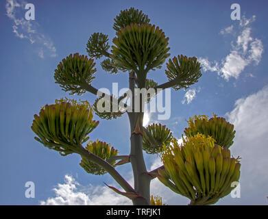 Agave (Kaktus) Pflanze Blüte im Südwesten Texas. - Stockfoto