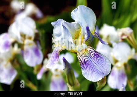 Die Blume der weiß-blaue Iris, close-up - Stockfoto