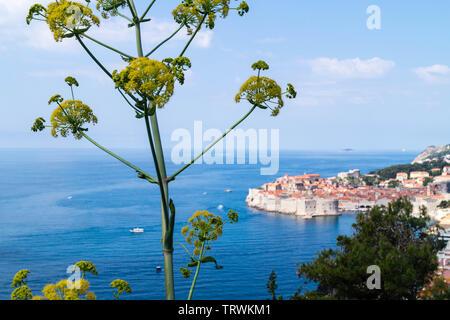 Scharfkraut heracleum im Vorderen und Dubrovnik in der Rückseite - Stockfoto