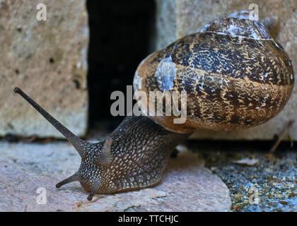 Nahaufnahme Foto von einem gemeinsamen Garten Schnecke kriecht auf einen Stein Stein - Stockfoto