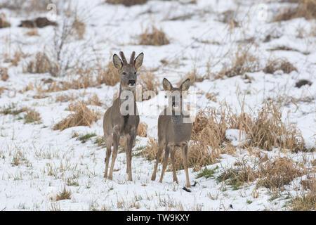 Reh (Capreolus capreolus). Nach Paar in den Schnee. - Stockfoto