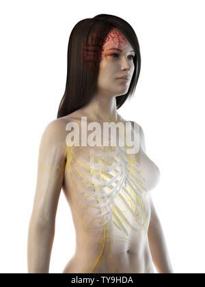 3D-gerenderte Medizinisch genaue Abbildung eines Frauen im Gehirn und Nerven - Stockfoto