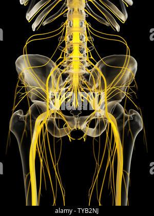 3D-gerenderte medizinisch genauen Abbildung des Beckens Nerven - Stockfoto