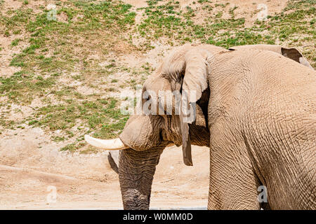 Afrikanische Elefanten, einzelne männliche Stier Elefant im Profil, vom Aussterben bedrohte Tierarten Safari Park in San Diego, Kalifornien, Wildnis draußen - Stockfoto