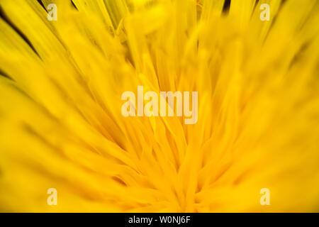 Blow up wilde Blume taraxacum Makro Hintergrund Fine Art Drucke in hoher Qualität - Stockfoto