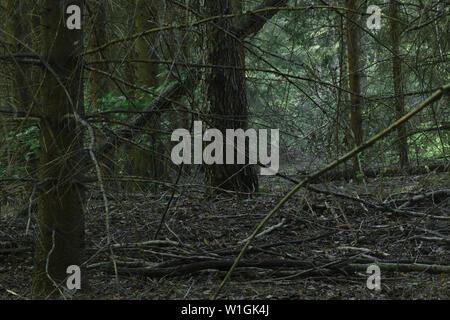 Dichten, dunklen und unheimlichen suchen Fichtenwald während der späten Abend Zeit - Stockfoto