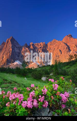 Alpenrosen blühen mit Laliderer Gesicht im Alpenglühen, Laliderer Waende, Karwendel-Bereich, Tirol, Österreich - Stockfoto
