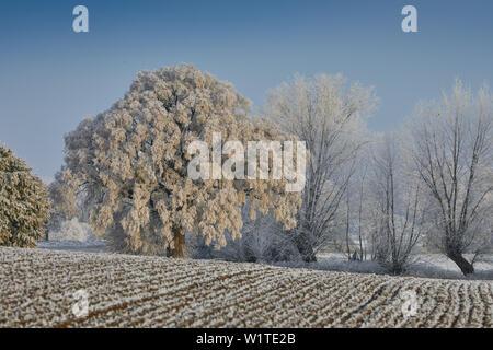 Frost auf große leaved Lime Tree mit und Weiden in der Nähe von Parkentin, Mecklenburg Vorpommern, Deutschland - Stockfoto