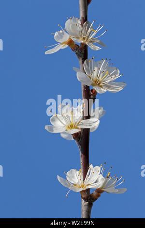 Schlehdorn / schlehe (Prunus spinosa) Blühende Zweig weiße Blumen gegen den blauen Himmel im Frühjahr - Stockfoto