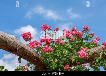 Pretty Pink' amerikanischen Säule' Roses klettern auf eine hölzerne Pergola Blütezeit vor blauem Himmel an einem Sommertag, Surrey, South East England - Stockfoto