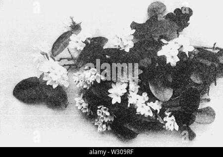 PSM V63 D 254 Plymouth Mayflower trailing Arbutus epigaea repens - Stockfoto