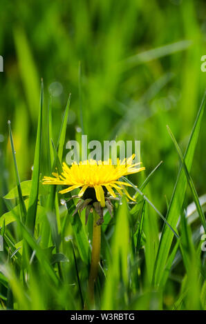 Taraxacum Officinale, Crepidinae, Asteraceae, Nahaufnahme von einem Löwenzahn Blumen auf einer Wiese im Sommer - Stockfoto
